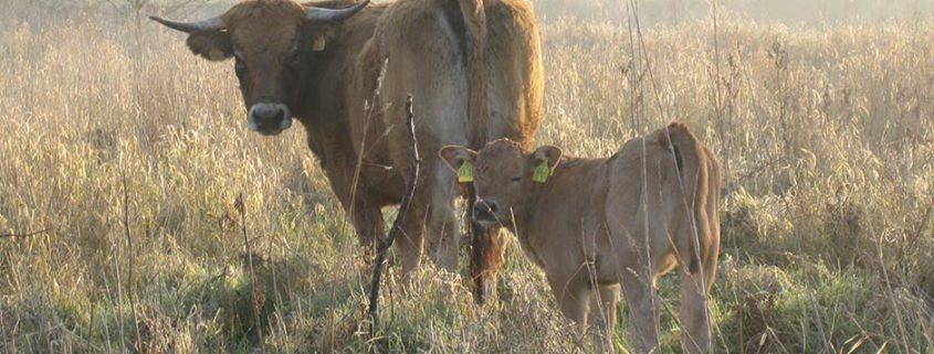 URBEEF Rinderherden
